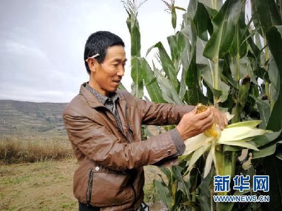 王仲祥在地里掰玉米,满眼是丰收的喜悦。