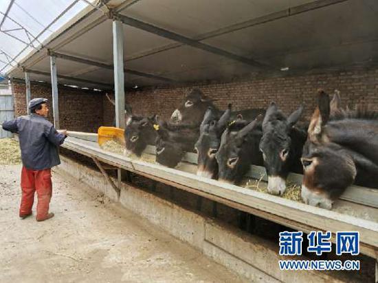 村民韩兴龙给合作社的黑驴喂草