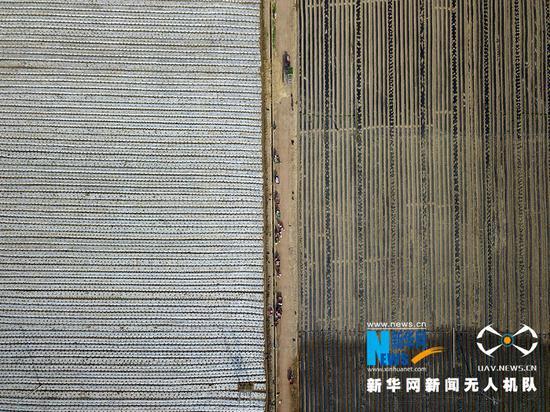 """这是4月10日拍摄的甘肃省张掖市甘州区乌江镇谢家湾村""""金张掖""""供港蔬菜基地。"""