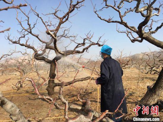 """立春以来,天气渐暖。""""十里桃乡""""兰州安宁堡桃树复耕开始。图为2月26日,桃农喷洒农药,防治病害。 张婧 摄"""