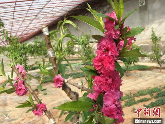 图为安宁堡桃基地温室大棚种植1年生桃树开花。 张婧 摄
