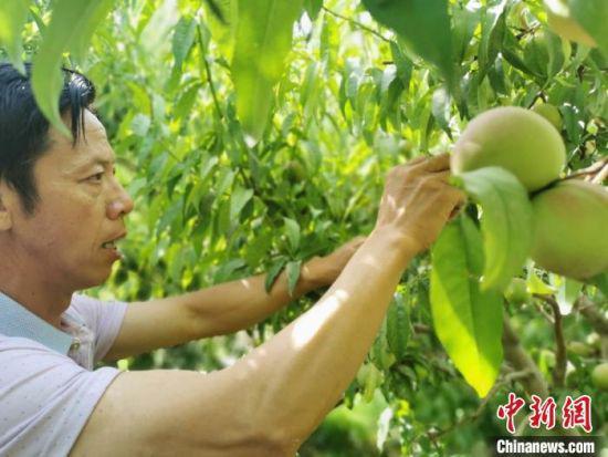 图为桃农采摘桃子。
