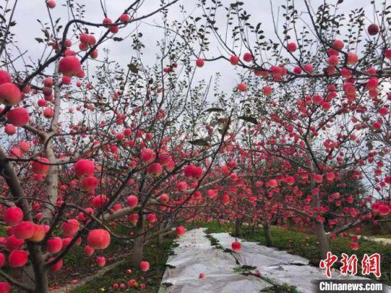 图为大坪村的苹果。(资料图)