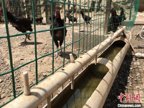 图为村民刘剑伟成立的养殖场中,用自来水饲养的黑乌鸡。