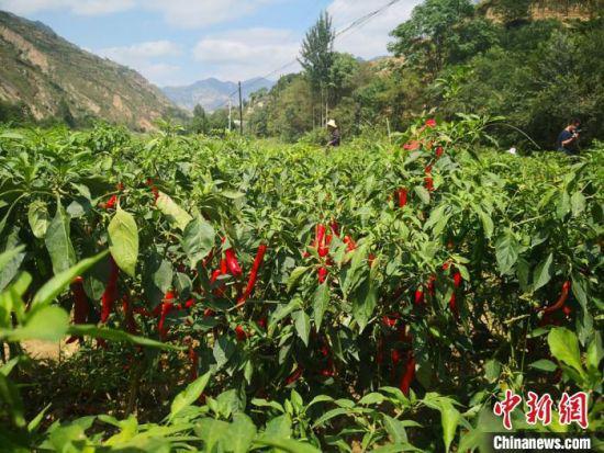 9月初,甘肃陇南市西和县火红的辣椒铺满大山峡谷间。
