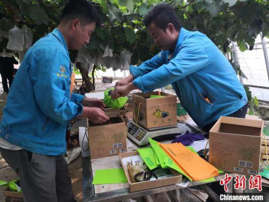 图为循环产业园的葡萄种植棚里,工作人员正在装箱。