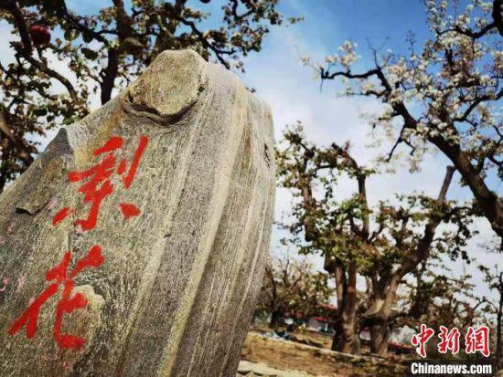 """""""世界第一古梨园""""位于兰州什川镇,连片梨园面积超万余亩,现存百年以上的古梨树9000余株。 史静静 摄"""
