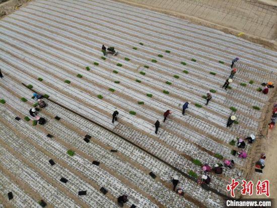 图为金崖镇高原夏菜种植基地。 杨艳敏 摄