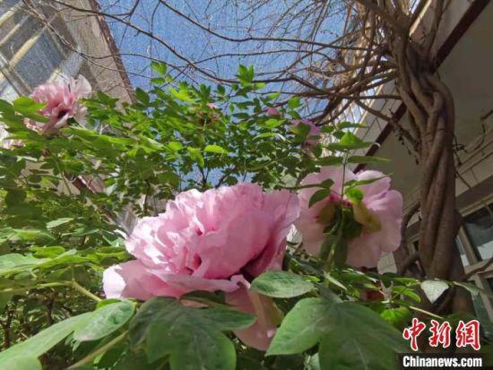 图为临洮县洮阳镇曹家坪的曹佰平家院落的观赏牡丹。 张婧 摄