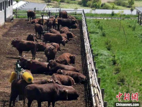 图为甘肃泾川旭康肉牛养殖基地。(资料图) 魏建军 摄