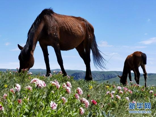 这是近日拍摄的山丹马场。盛夏时节,位于祁连山下的山丹马场处处生机勃勃,湖泊如镜、草色千里,成群的马儿悠闲觅食。新华网发(吴学珍 摄)