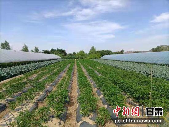 图为西固区张家台村蔬菜地。