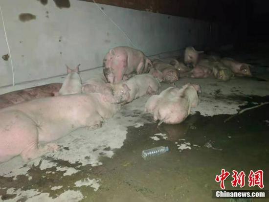 资料图:被转移出来的猪。中新网郎朗 摄