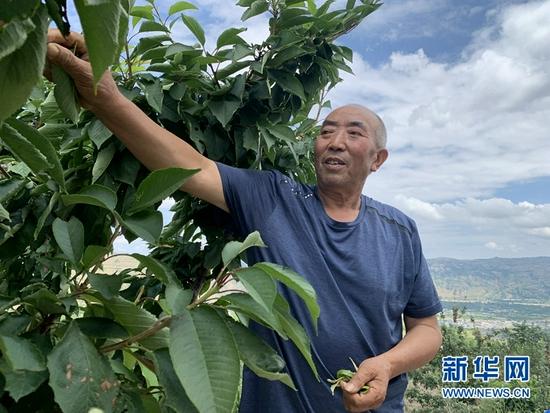胡对生正在摘去樱桃树的枯叶。新华社记者 张玉洁 摄