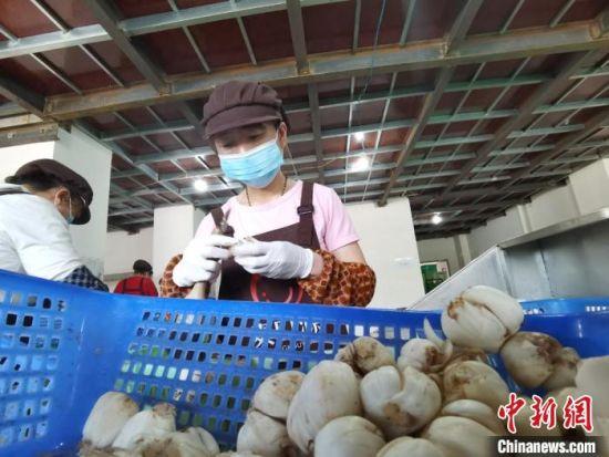 """6月29日,兰州市""""乡村就业工厂""""揭牌。图为当地一家百合企业女工在生产线包装。(资料图) 张婧  摄"""