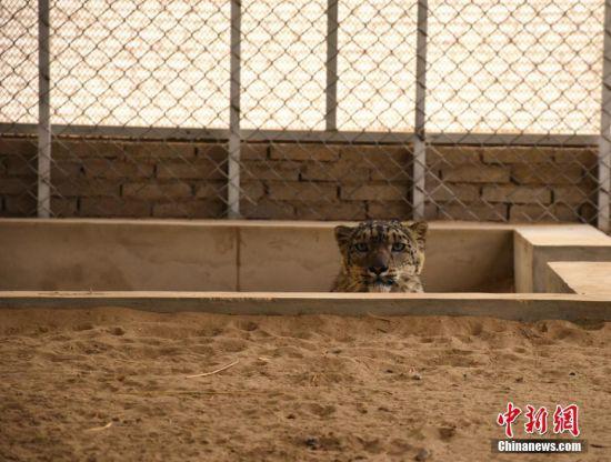 """雪豹被称为""""雪山之王"""",被列为濒危物种,是中国国家一级保护动物。 高宏善 摄"""