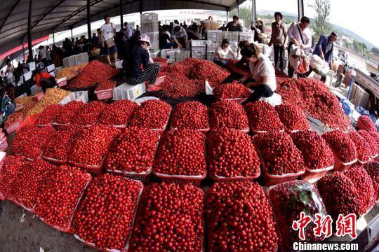 """六月,甘肃天水秦州区玉泉镇烟铺村的大樱桃迎来了盛产期,上千亩樱桃成熟""""红似火"""",果农忙碌的身影随处可见。 何永德 摄"""
