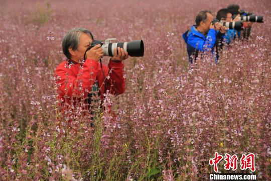 近日,来自北京的摄影爱好者在新疆昭苏县洪纳海乡万亩香紫苏基地进行采风拍摄。 李文武 摄