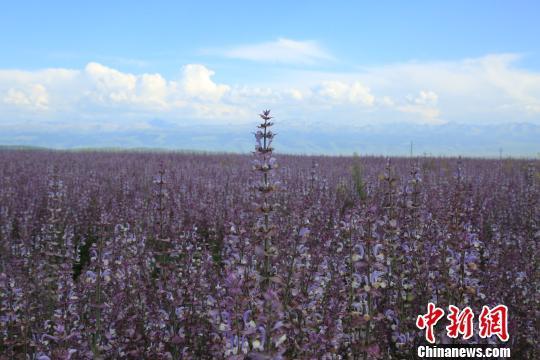 金秋8月,新疆昭苏高原7万余亩香紫苏竞相怒放,全面进入盛花期,形成了一抹壮观的紫色花海,令人心旷神怡。 李文武 摄