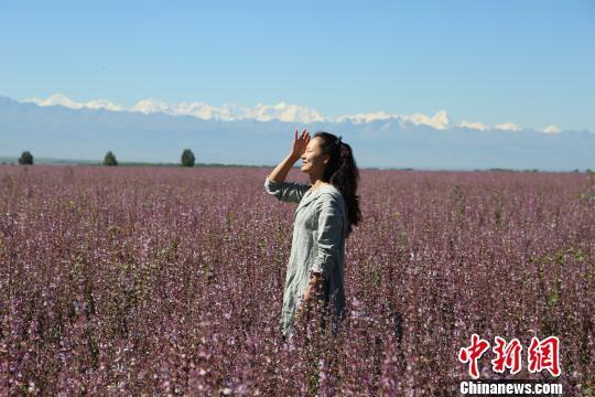 图为镜头下的香紫苏与丽人。 李文武 摄