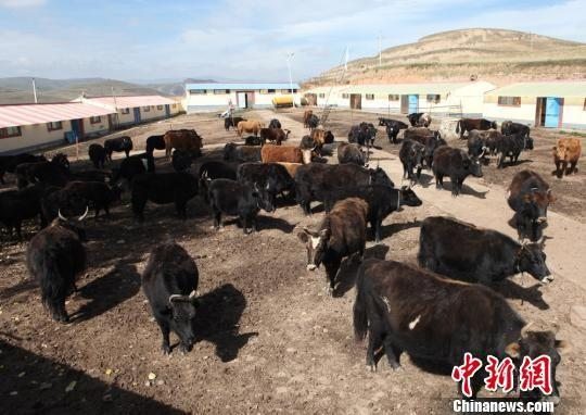 图为合作市卡加曼乡洒洒村犏雌牛养殖合作社。 吴鹏 摄