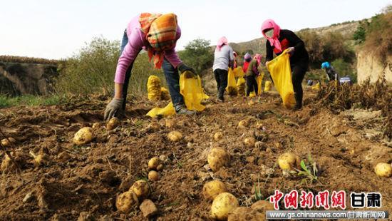 图为农民采挖马铃薯。通讯员 侯奇志 摄