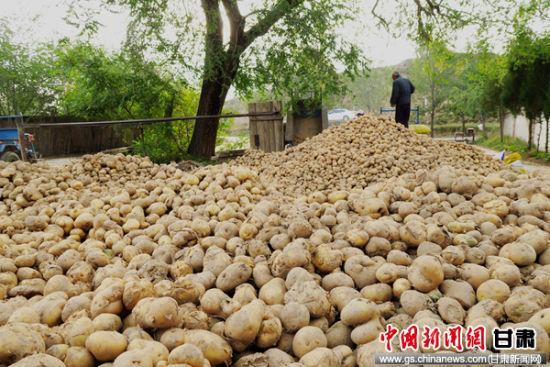 连日来,永靖县山区乡镇马铃薯丰收,在田间地头随处可见薯农采挖马铃薯的身影。通讯员 郭红 摄