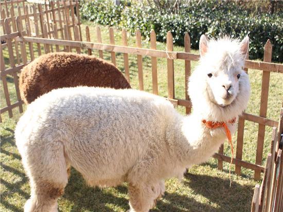草原呆萌担当、百变发型天王羊驼