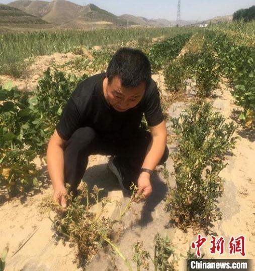 今年5月底以来,甘肃庆阳市北部极端干旱持续加重,引起蚜虫等大面积发生,进一步加重了干旱灾害的危害。 张天峰 摄