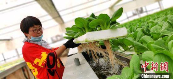 王焕焕展示着水培叶菜。