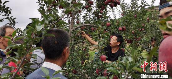 """9月初,甘肃天水市麦积区石佛镇大坪村村民的果园里,""""土专家""""为果农讲解苹果相关知识。"""