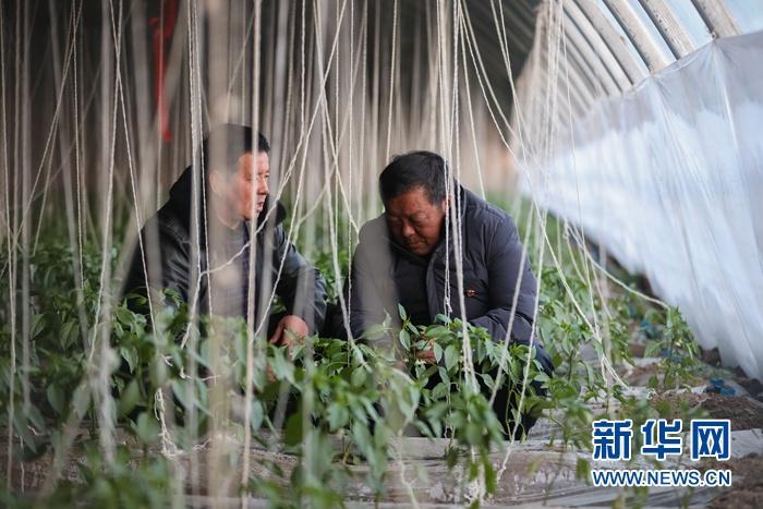 1月5日,在会宁县韩家集镇袁家坪村蔬菜大棚内,任长太(右)和村民查看蔬菜生长状况。新华社记者 马希平 摄