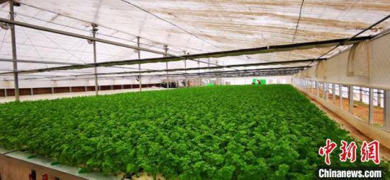 水培叶菜栽培双膜大棚里种植着各类蔬菜。