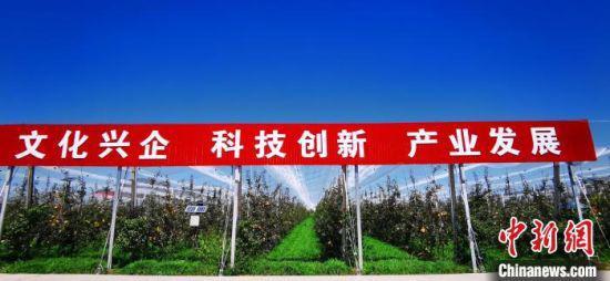 2020年9月,位于甘肃平凉市静宁县的一家企业有机苹果示范园。 (资料图) 魏建军 摄