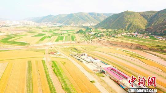 图为成熟待收割的小麦。 李文 摄
