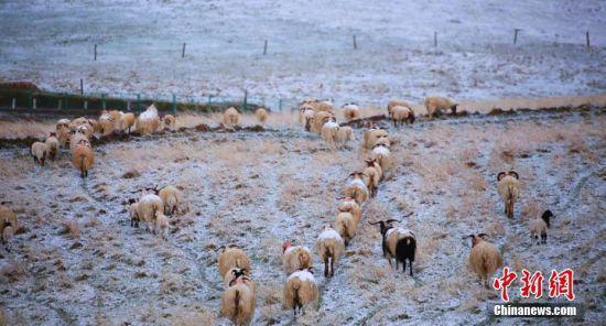 羊群在雪地觅食。王超 摄