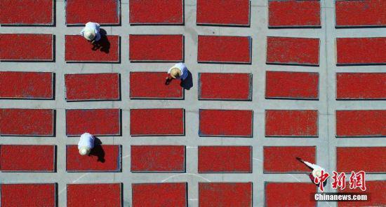 """盛夏七月,甘肃张掖市临泽县万亩枸杞陆续进入采摘季,成熟的枸杞""""染红""""了戈壁滩。"""