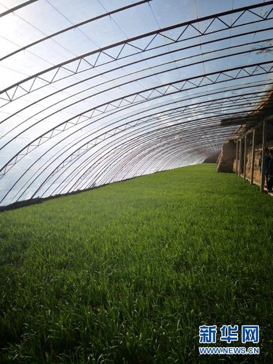 玉门市设施农业大棚内冬韭长势正旺。