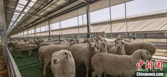 图为该养殖基地养殖的湖羊。 魏建军 摄
