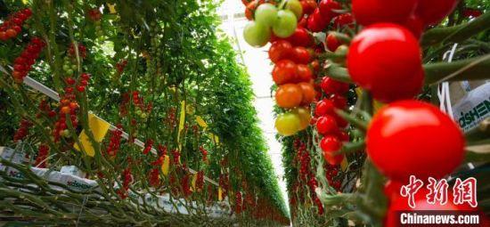 图为平凉市海升超越农业生态示范项目串番茄。(资料图) 魏建军 摄
