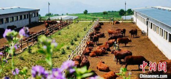 图为甘肃平凉市泾川县旭康肉牛养殖基地。(资料图) 魏建军 摄