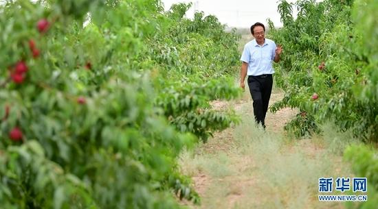 8月18日,方志利在查看桃子生长情况。新华社记者 陈斌 摄