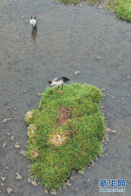 这是6月2日在甘肃省甘南藏族自治州碌曲县尕海湖拍摄的国家一级保护动物黑颈鹤及其幼鸟(无人机照片)。新华社记者 杜哲宇 摄