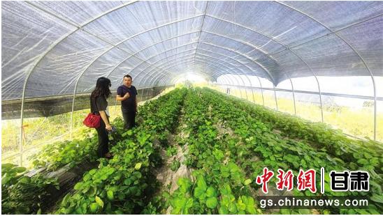 水岔沟村利用废弃大棚改造的蔬果试验大棚。