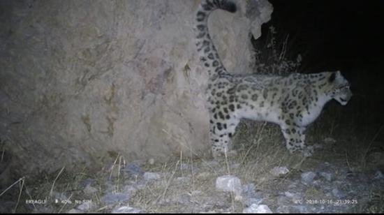 雪豹正在进行尿液标记。世界自然基金会供图。