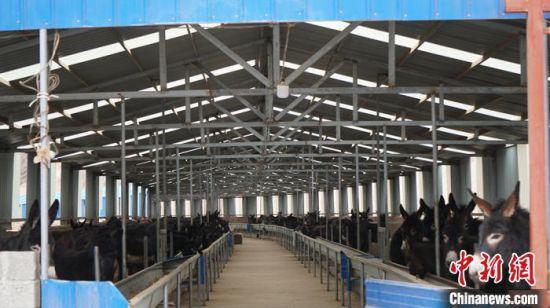 图为厂房开阔,通风良好的养驴基地。 魏建军 摄