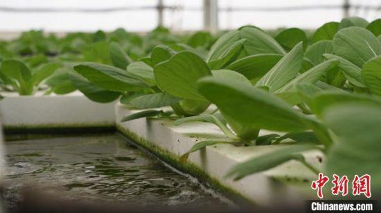 """2020年8月,兰州新区农投集团以""""无土栽培技术+自动化智能管控""""种植模式建设的双膜棚里生长着嫩绿的上海青。"""
