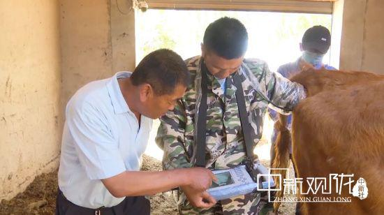 瓜州县河东镇兽医为牛做B超。王翠 摄