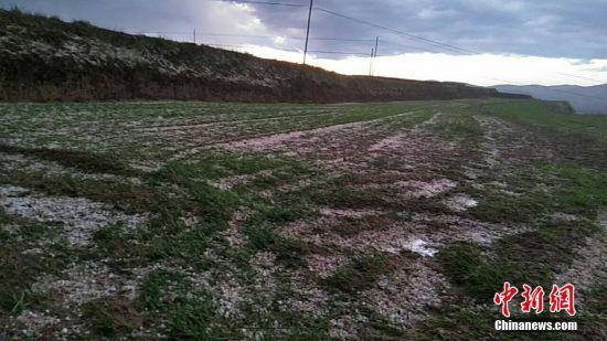 农作物因遭受冰雹打击受损。 张建国 摄