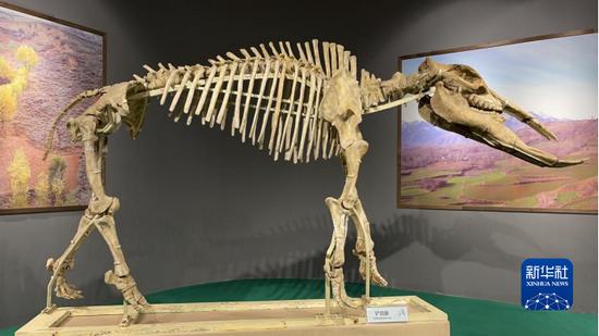 铲齿象复原骨架(和政古动物化石博物馆供图)